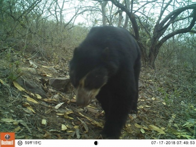 Spectacled Bear On Camtrap La Pena Perydryforest