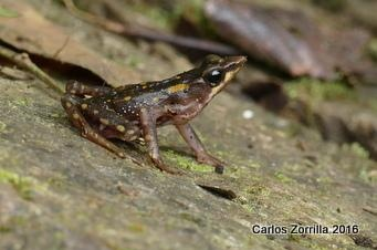 Atelopus Longirostris Close Up 50K