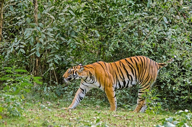 Bengal tiger captured by Peter Bennett at Nagarahole reserve