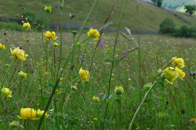 Transylvanian meadows have the highest floristic diversity recorded anywhere in the world