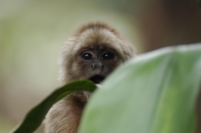 Spider Monkey by Murray Cooper