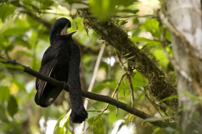 Long wattled umbrellabird, Murray Cooper