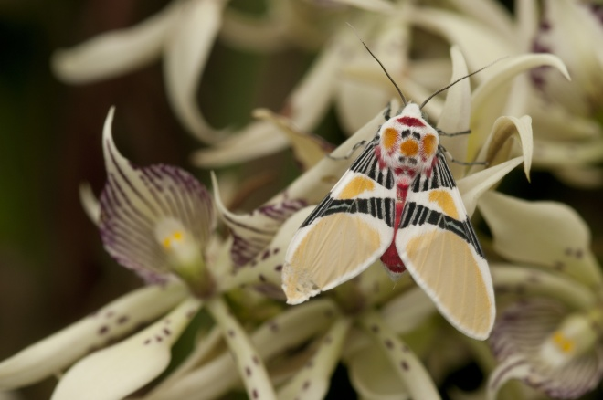 Tiger Moth with Clown Face (Idalus herois), Murray Cooper