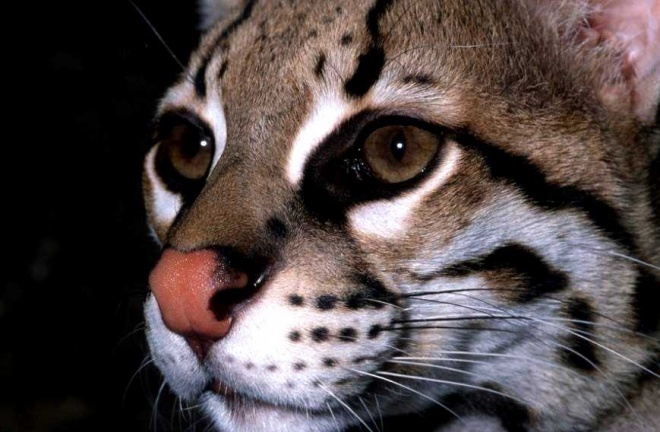 Rainforest Concern Ocelot