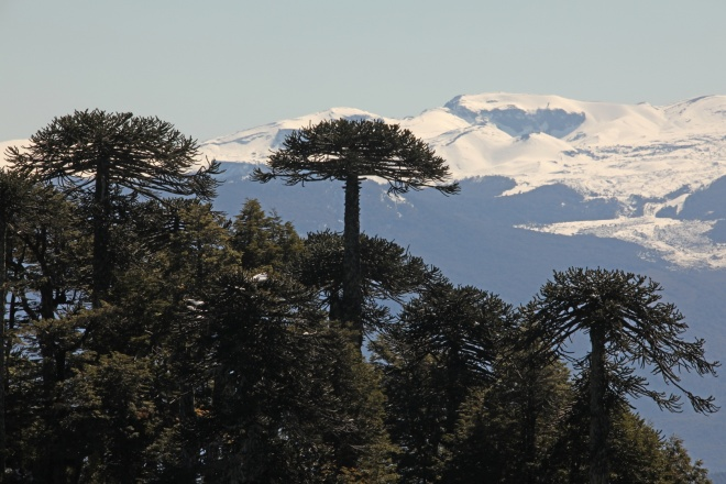 Img 3953 Araucaria Trees Araucaria Araucana Silhouetted Against The Snow Covered Lower Slope Of Llaima Volcano Nr